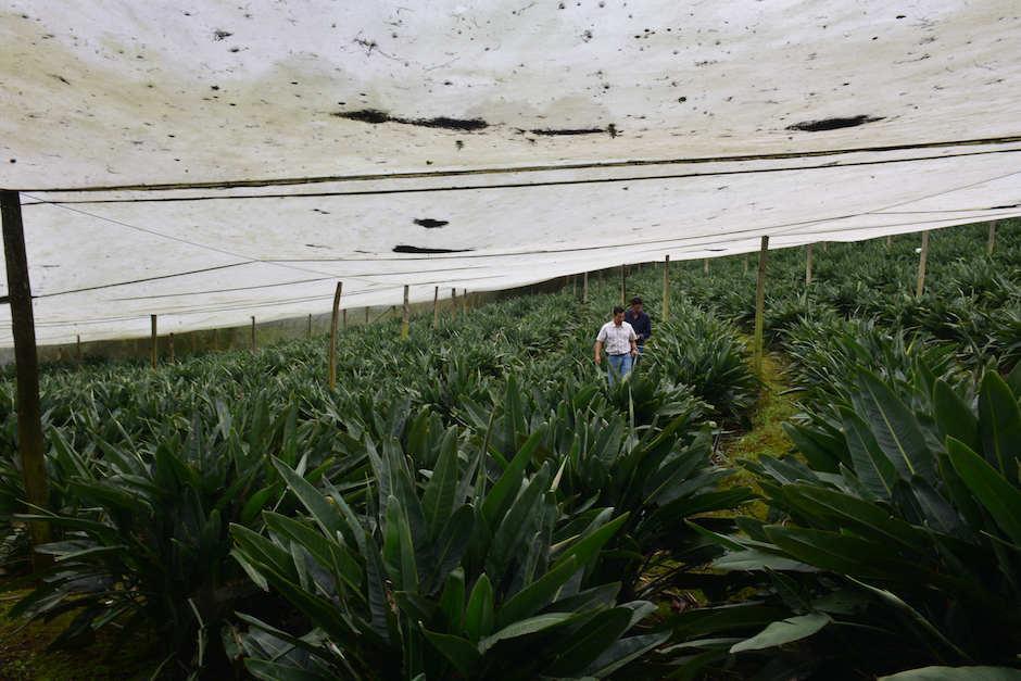 Aproximadamente, 60 mil plantas productoras de aves del paraíso tienen en su finca. (Foto: Jesús Alfonso/Soy502)