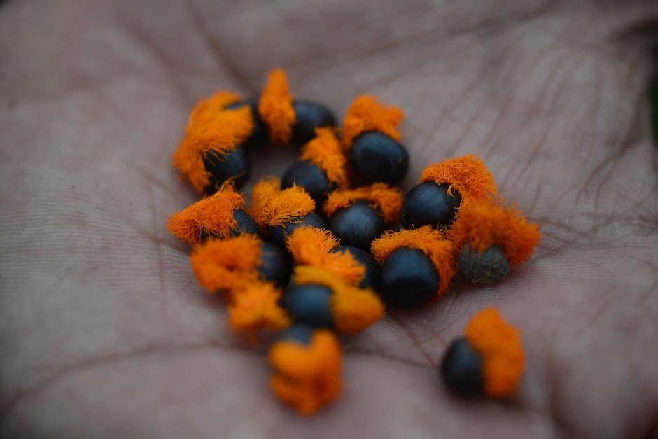 Las semillas de aves del paraíso tienen fibras en la parte de arriba para hacerlas atractivas para las aves. (Foto: Jesús Alfonso/Soy502)