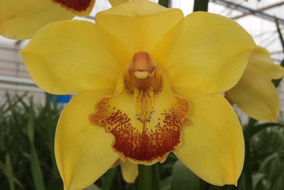 La tierra guatemalteca produce orquídeas de alta calidad. (Foto: Jesús Alfonso/Soy502)