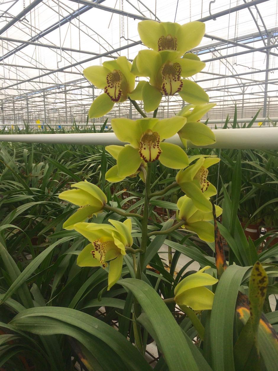 Hay disponibles orquídeas de cinco colores distintos. (Foto: Jesús Alfonso/Soy502)