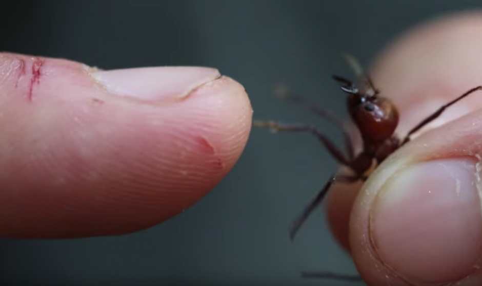 El hombre coloca una hormiga en sus dedo. (Captura de pantalla: Brave Wilderness/YouTube)