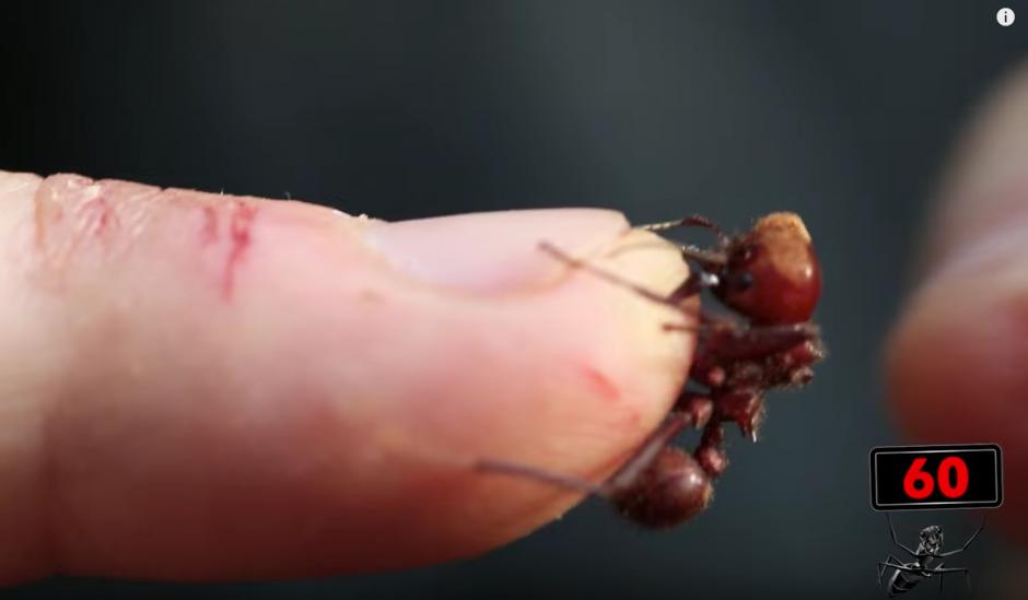 Durante 60 segundos tendrá que tener la hormiga en su dedo. (Captura de pantalla: Brave Wilderness/YouTube)