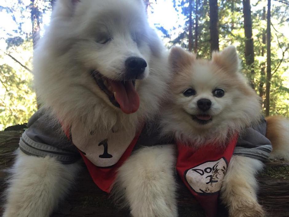 Hoshi es un perro esquimal americano y Zen, uno de raza pomeriana. (Foto: Instagram/the.fluffy.duo)