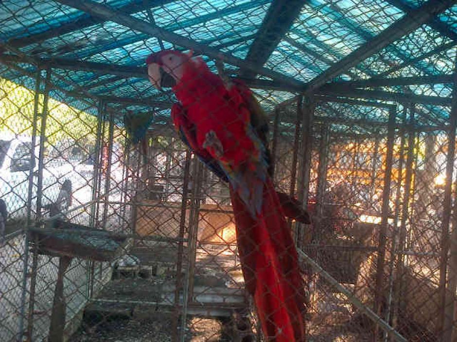 Esta guacamaya roja en peligro de extinción fue rescatada durante los allanamientos. (Foto:MP)
