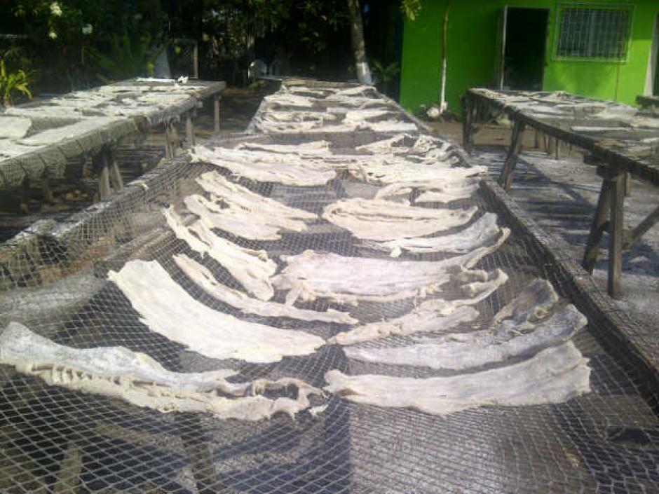 Restos de pez que se presume sea de la especie Vela, fue encontrado en las residencias allanadas. (Foto:MP)