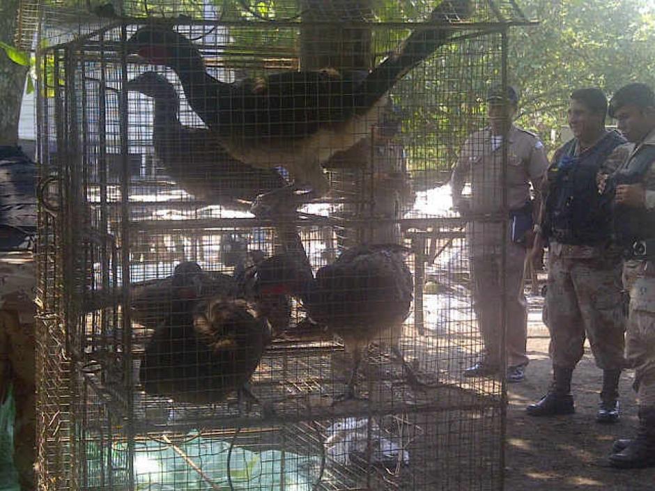 Estas aves de la especie Chachalacas en peligro de extinción se encontraban en cautiverio. (Foto:MP)