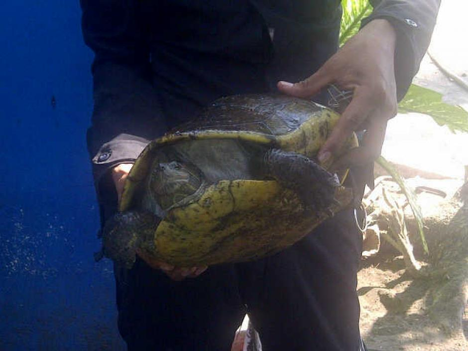 Varias tortugas fueron rescatadas en los allanamientos. (Foto:MP)
