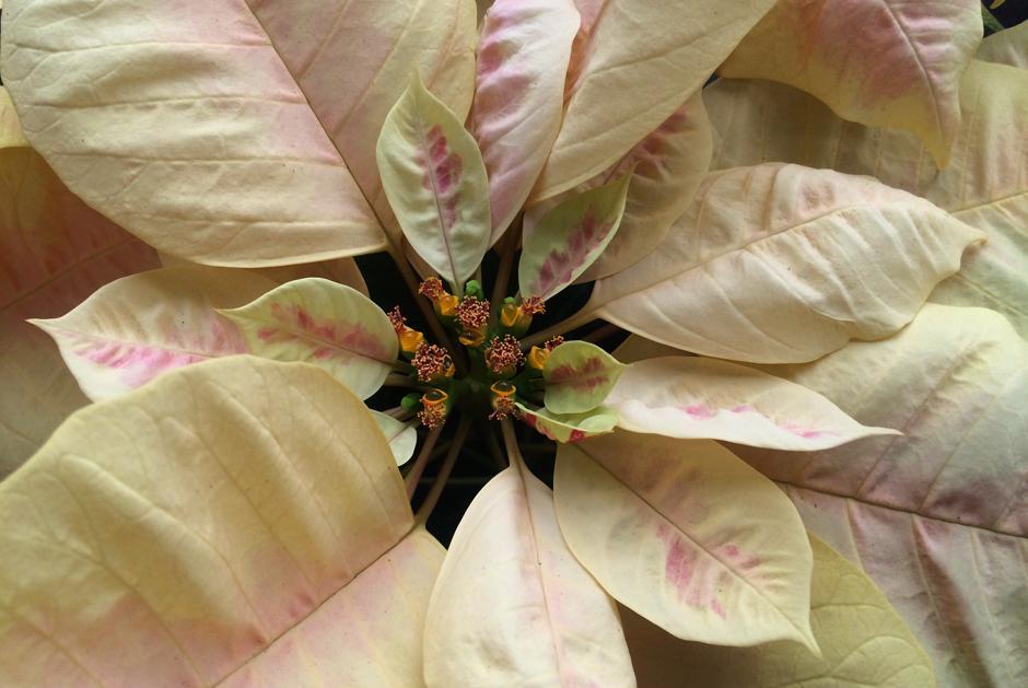 Híbrido de una variedad de flor de pascua roja y una amarilla. En el mundo existen alrededor de 80 variedades de 'Euphorbia pulcherrima'. (Foto: Luis Barrios/Soy502)