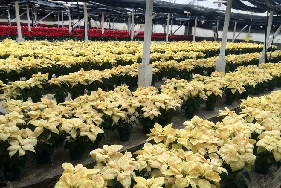 En Guatemala se cultivan alrededor de 10 variedades de pascuas entre amarillas, rojas y rosadas. La mayoría se exportan a EE.UU. (Foto: Luis Barrios/Soy502)