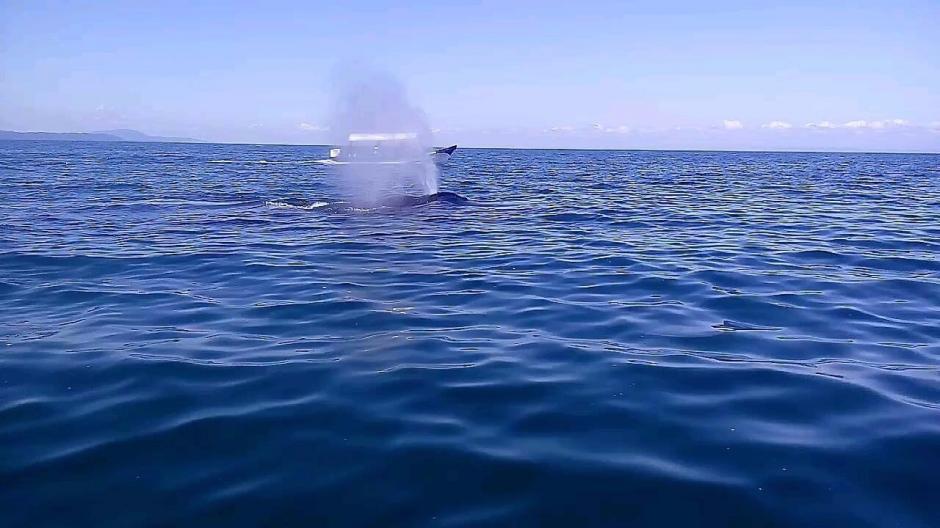 El Conap y el Comando Naval trabajan en la protección del animal y gestionan recursos para poder remolcar a la ballena mar adentro.(Foto: Daniel Bro)