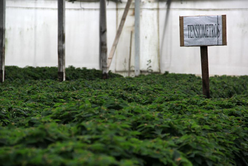 En el interior de algunos invernaderos se encuentran las plantas de los que se sacan los esquejes (pequeños vástagos) que se exportan a todo el mundo. (Foto: Luis Barrios/Soy502)
