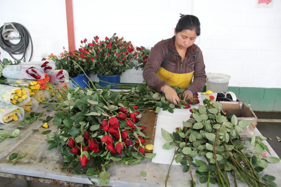 Luego de cortar las rosas se preparan para ser empacadas; se retiran las espinas, las hojas y se corta el tallo de acuerdo con el tamaño solicitado. (Foto: Jesús Alfonso/Soy502)