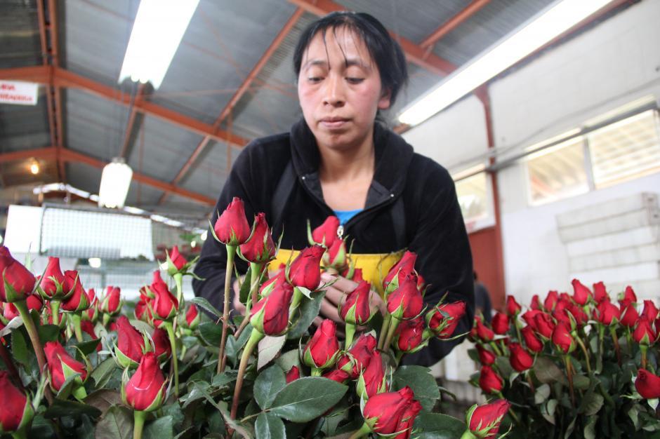 Empleados de la finca seleccionan las mejores rosas y las preparan para empacarlas (Foto: Jesús Alfonso/Soy502)