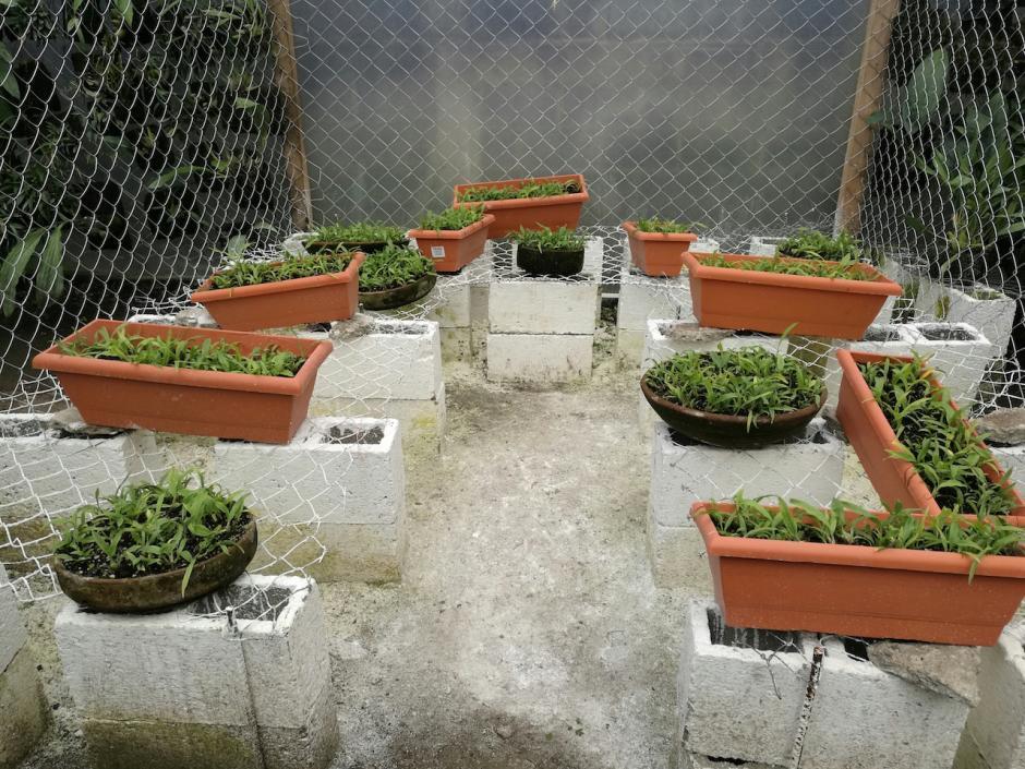 Las plántulas de monja blanca fueron reproducidas en un laboratorio. (Foto: Fonacon)