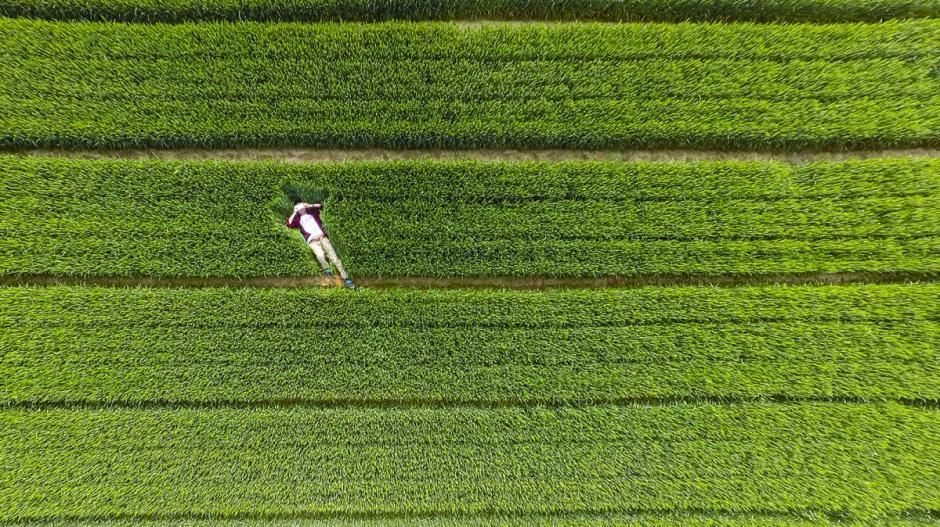 Una persona se toma un descanso sobre los cultivos en la región de Xiwei, China. (Foto: AmbroseLune/dronestagram)
