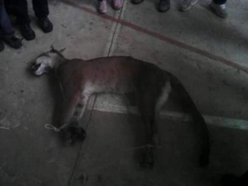 En una página de Facebook se han compartido las imágenes del brutal asesinato del puma en San Marcos. (Foto: Conap)