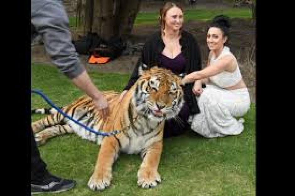 El tigre pertenece al Zoológico Browmanville de Ontario acusado de maltrato animal. (Foto: Getty)