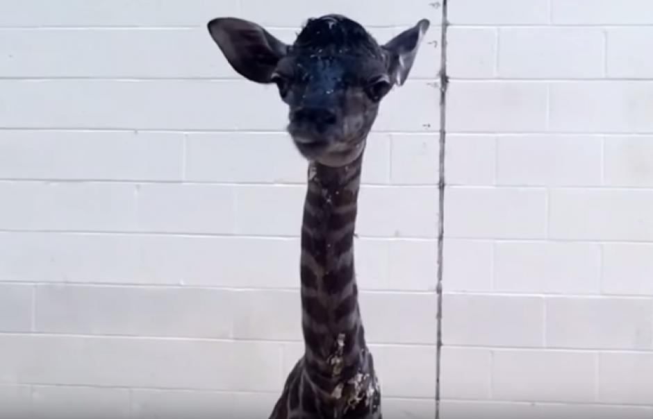 Graban los primeros pasos de una jirafa recién nacida en un zoológica. (Foto: Captura de YouTube)