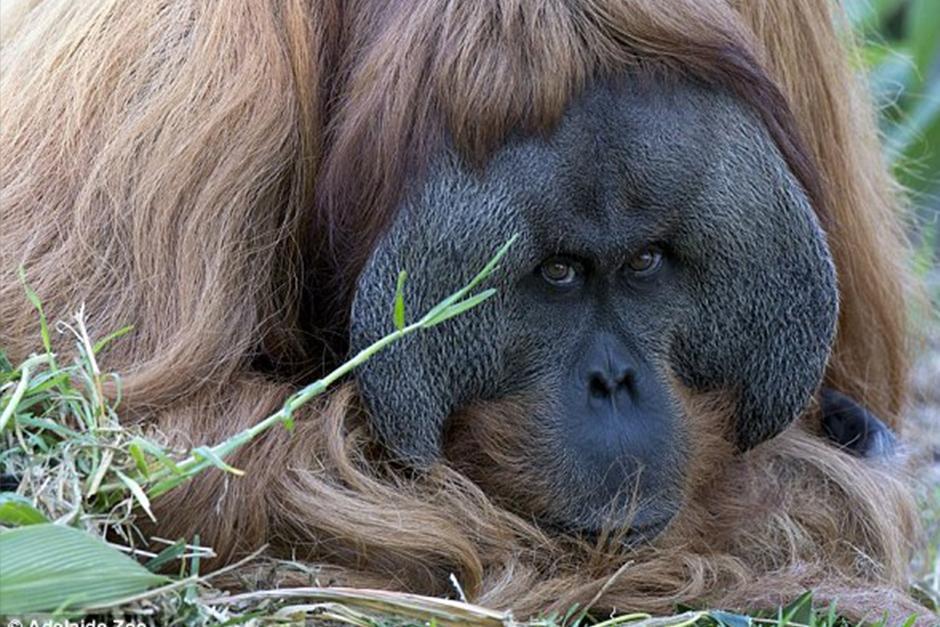El orangután que vive en un zoológico australiano ha demostrado talentos musicales. (Foto: Adelaide Zoo)
