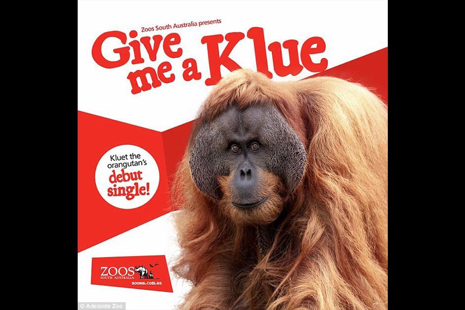 Kluet se ha convertido en todo un artista musical. (Foto: Adelaide Zoo)