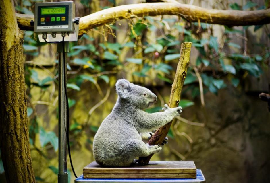 Un Koala Vobara se sienta en una pesa del el zoológico de Duisburgo, Alemania, durante el inventario anual de este recinto, los animales son examinados y contados. La foto del 10 de enero fue tomada por Jan-Philipp de AFP.