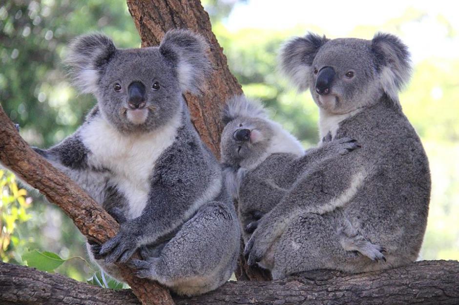 La ternura de un enamorado koala contrasta con sus técnicas de enamoramiento. (Foto: Facebook/Taronga Zoo)