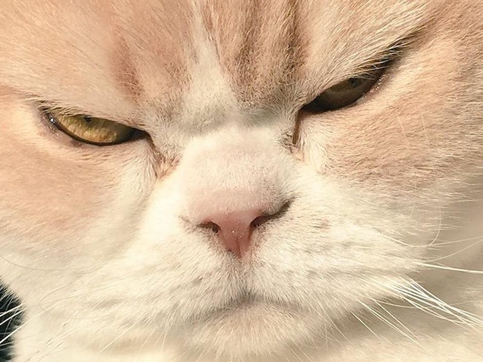 Ella es Koyuki, una tierna gatita con rostro de enfado que es la sensación de la web. (Foto: Gato Lector)