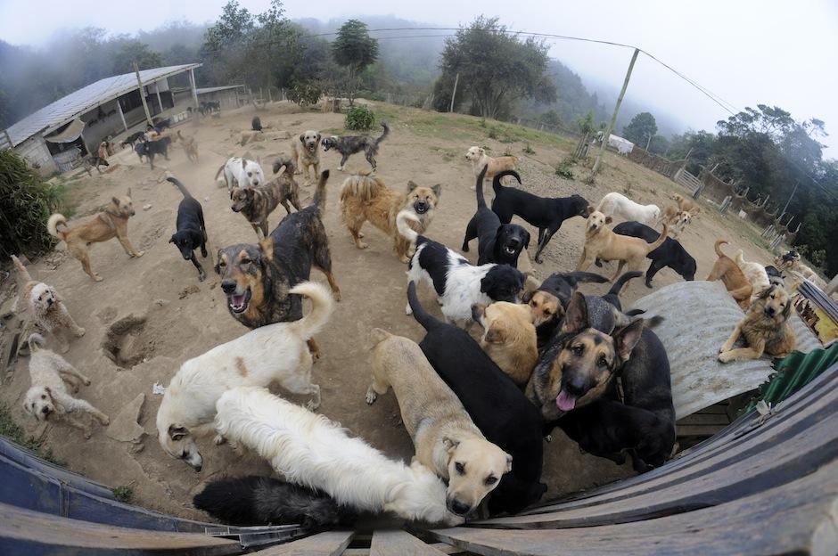Los perros se organizan en manadas y los más fuertes son quienes lideran el grupo. Éste está lleno de amor, diversión y agradecimiento. (Foto: Esteban Biba/Soy502)