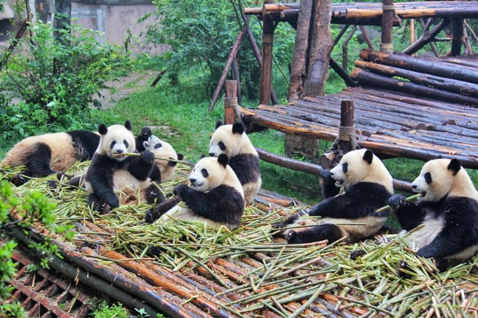 El elegido ganará un viaje a la Conservación de Osos Panda de Chengdu, China. (Foto: viajero-turismo.com)