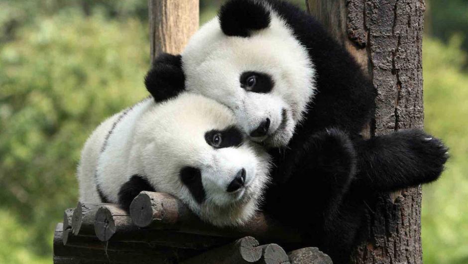 El concurso consiste en nombrar a dos osos panda de Chengdu, China. (Foto: Youtube)