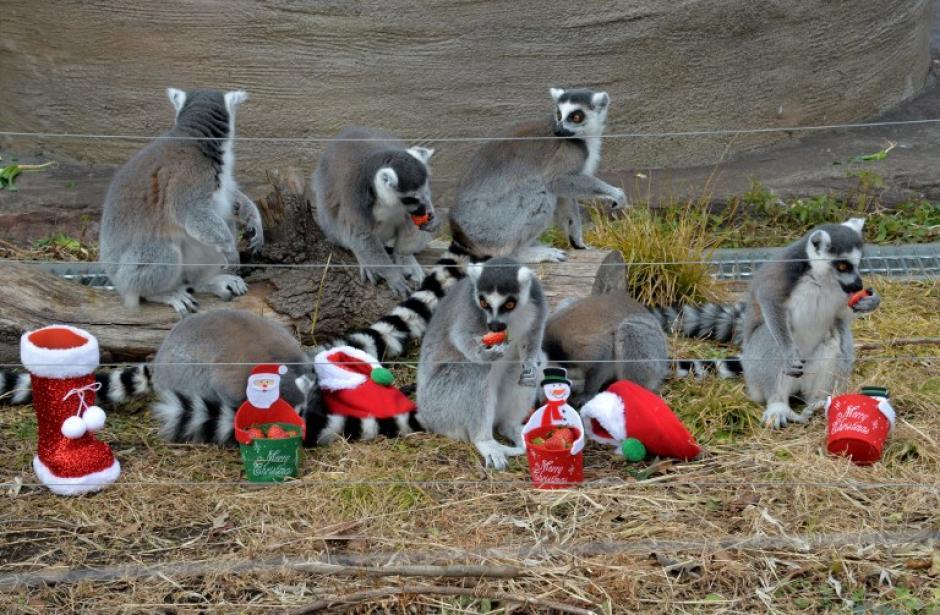 Estos lemures cola anillada, del Zoológico de Tokyo, disfrutan de su regalo: unas fresas dentro de una bota navideña un día antes de Noche Buena. La foto del 23 de diciembre fue tomada por el fotógrafo de AFP, Yoshikazu Tsuno.
