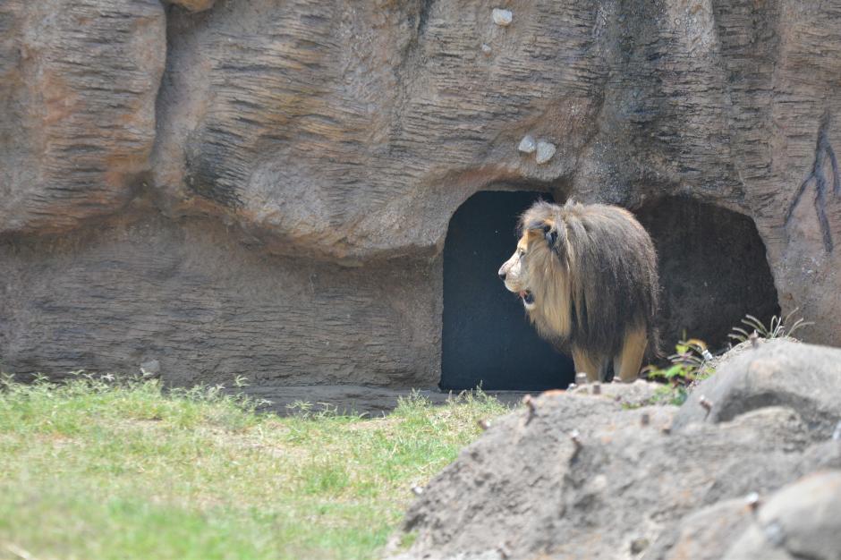 El léon fue rescatado y curado por las autoridades del zoológico. (Foto: Wilder López/Soy502)