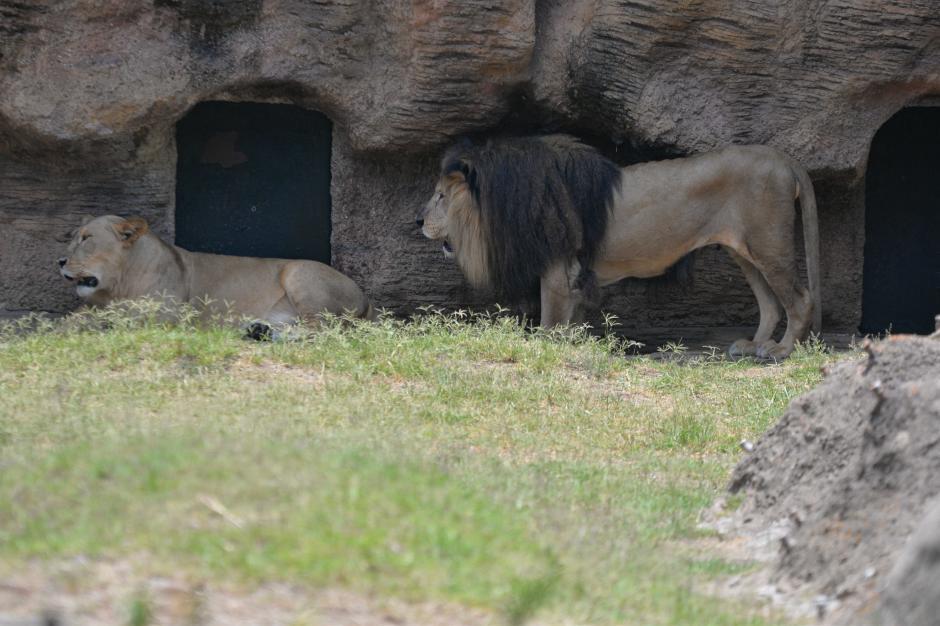 El León de Pacaya fue encontrado en el volcán en 1997. (Foto: Wilder López/Soy502)