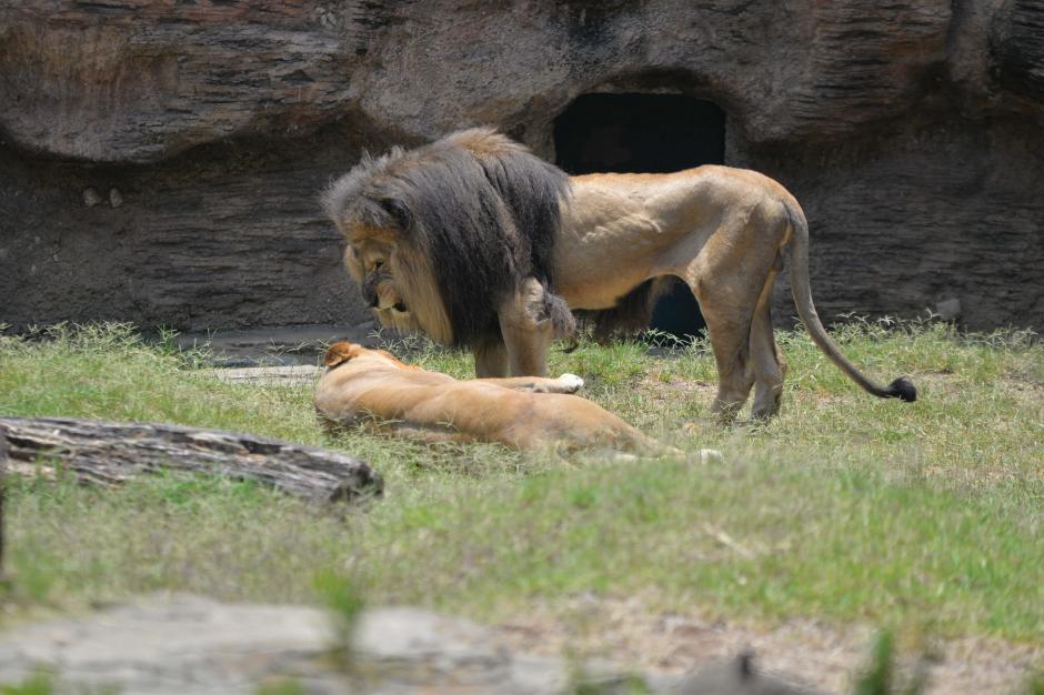 Muchos animales rescatados son entregados al zoológico. (Foto: Wilder López/Soy502)