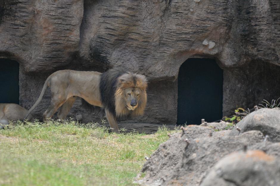 El león lleva 19 años en el Zoológico La Aurora. (Foto: Wilder López/Soy502)