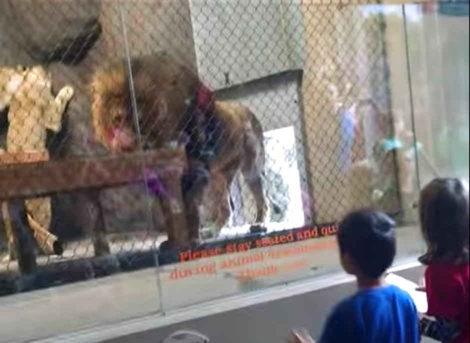El animal se detiene a comer y no avanza. (Captura de pantalla: Brandon Geer/YouTube)