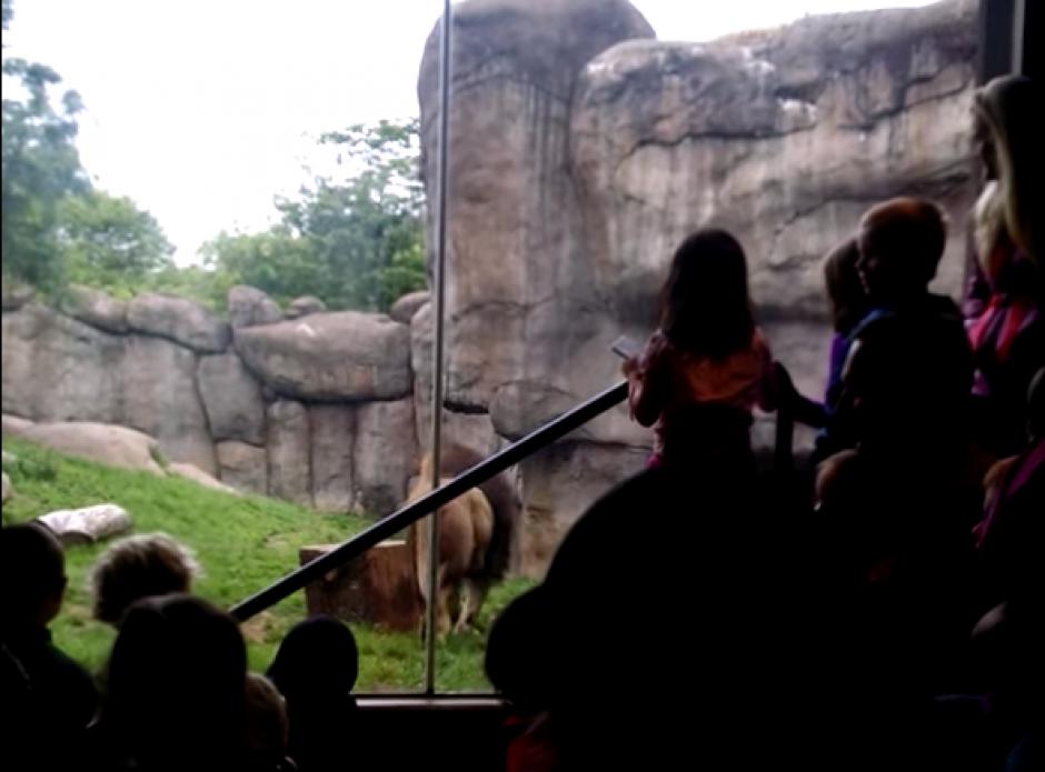 El león regresó al área verde, después del accidente. (Captura de pantalla: Brandon Geer/YouTube)