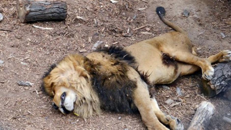 Los empleados sacrificaron a los leones para evitar que devoraran al hombre. (Foto: infobae)