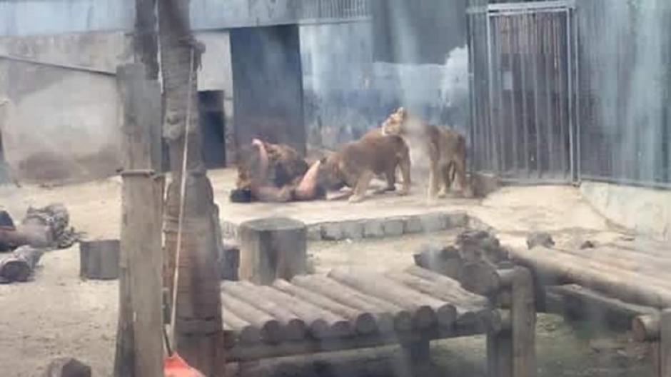 Los leones rodearon al hombre que se encontraba sin ropa. (Foto: infobae)