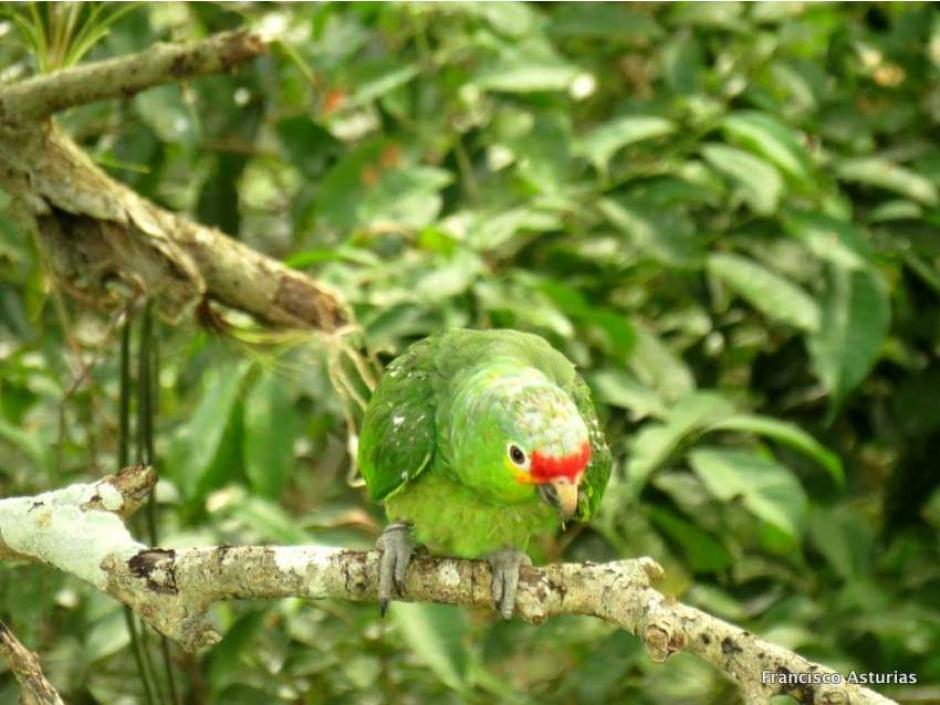 Las aves fueron evaluadas antes de ser liberados totalmente. (Foto: Francisco Asturias/Arcas)