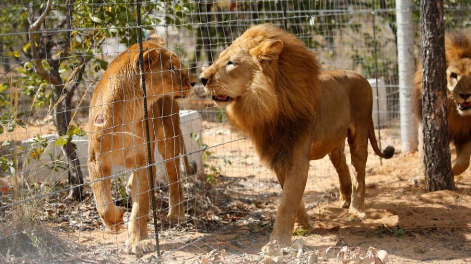 El recinto en el que se encuentran los felinos es un paraje natural. (Foto: AP)