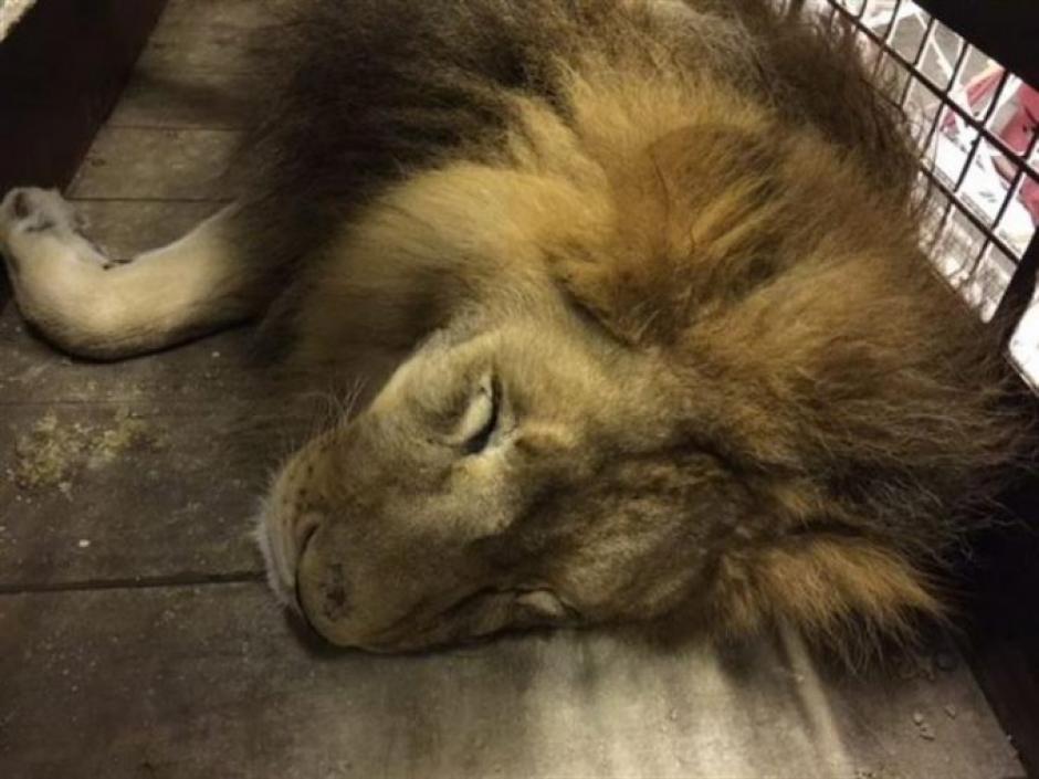 Muchos leones tenían los dientes rotos y otros problemas de salud. (Foto: Facebook)