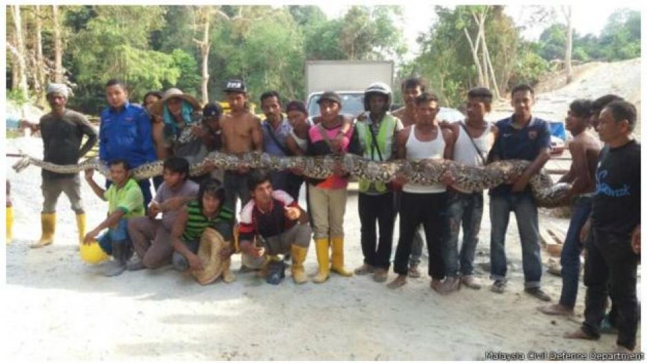 Una pitón capturada en Malasia en abril de este año midió ocho metros. (Foto: Malaysia Civil Defence Department)