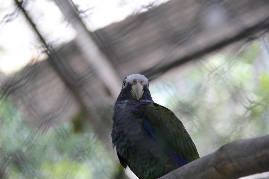 Los loros de cabeza azul son parte del 90 % de especies inscritas en el Conap. (Foto: Alexis Batres/Soy502)