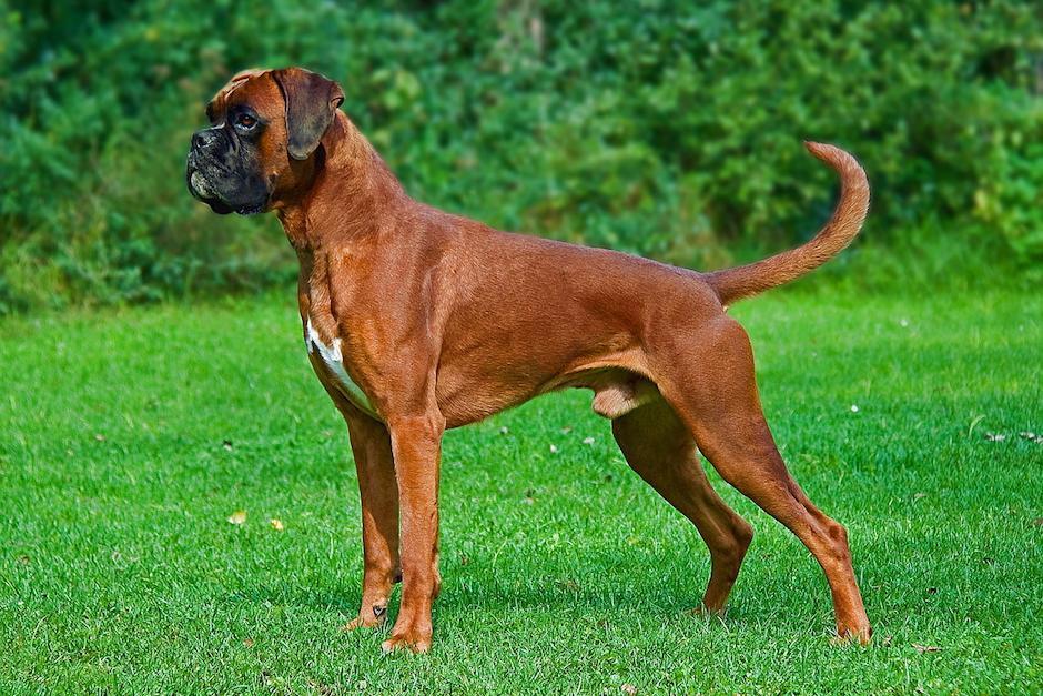Leonel Villamar dijo que tiene un perro raza Boxer valorado en 9 mil quetzales. (Foto: wikimedia)
