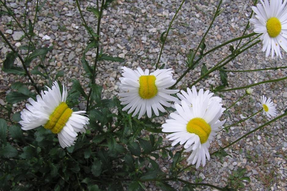 Las margaritas mutantes podrían ser radiactivas pues están muy cerca de la planta nuclear de Fukushima.