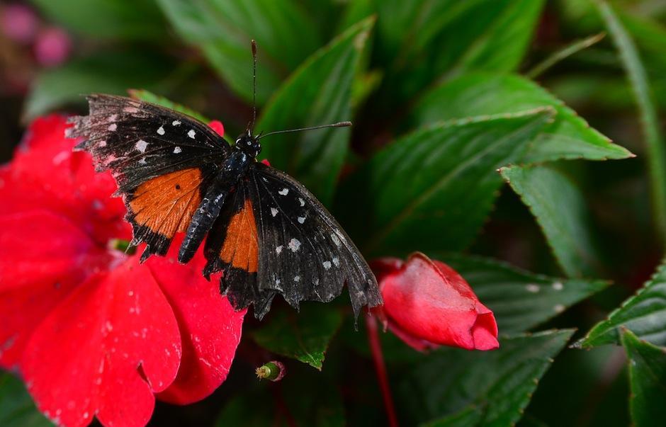 """El Mariposario del """"Museo Miraflores"""" es el primero espacio en la ciudad, dedicado a la conservación de estos bellos insectos. (Foto: Wilder López/Soy502)"""