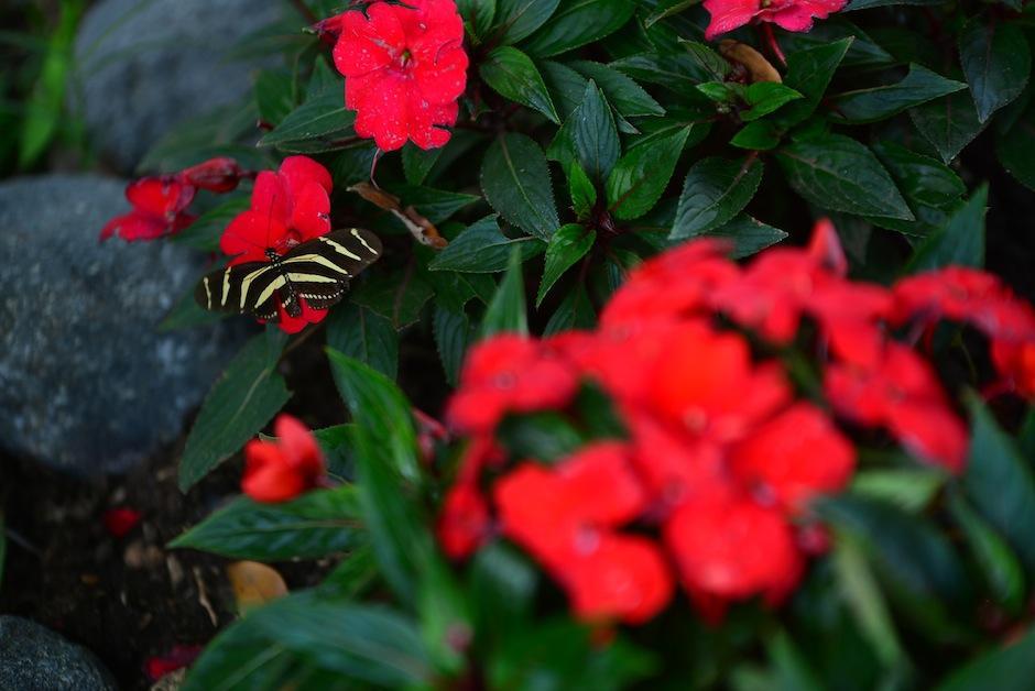 """Unas 14 especies de """"lepidopteras"""" formarán parte de este santuario, dedicado a la conservación. (Foto: Wilder López/Soy502)"""