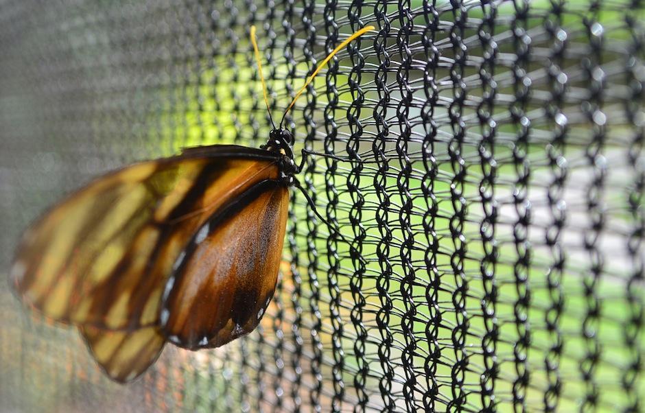 """La mariposa """"Alas de Cristal"""" es una de las inquilinas del lugar, esta especie es originaria de Centroamérica. (Foto: Wilder López/Soy502)"""