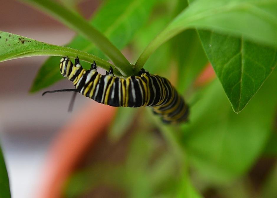 """Esta oruga de """"Mariposa Monarca"""" destaca por su belleza, su comida viene de la planta """"hospedera"""" donde reside antes de su próxima transformación. (Foto: Wilder López/Soy502)"""